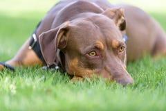 ослабленная собака Стоковое фото RF