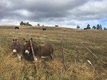2 осла в поле фермы за загородкой Стоковое Изображение RF