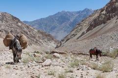 2 осла идя рюкзак нося, переход трека в Непале или Индия лошади Стоковая Фотография