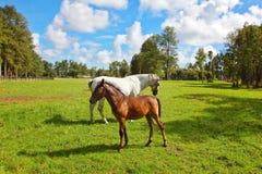 Осленок белой лошади и каштана Стоковые Фотографии RF