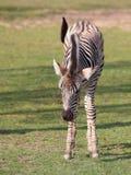 Осленок зебры на луге стоковые фотографии rf