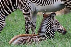 Осленок зебры Стоковое фото RF