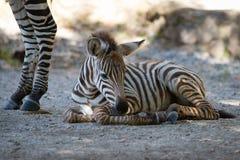Осленок зебры Grevy лежа на каменистой земле Стоковая Фотография