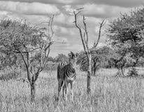 Осленок зебры ` s Burchell Стоковое Изображение