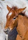 Осленок лошади Camargue портрета белый camargue de parc регионарное Франция Провансаль Превосходная иллюстрация Стоковые Фотографии RF