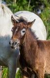 Осленок лошади Camargue портрета белый camargue de parc регионарное Франция Провансаль Превосходная иллюстрация Стоковое Изображение