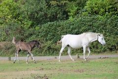 Осленок следовать своей матерью, новым лесом Стоковые Фотографии RF