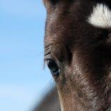 Осленок черноты глаза Стоковые Фото