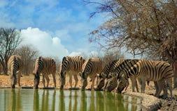 Ослепите зебр при головы вниз выпивая в прямой линии Стоковая Фотография