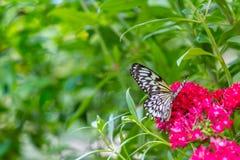 Ослеплять белая бабочка стоковые фотографии rf