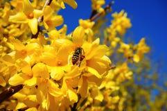 Ос-шершень собирает нектар от forsythia (подачи золотого колокола Стоковая Фотография