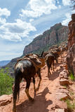 Ослы в гранд-каньоне Стоковое Изображение RF
