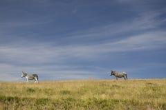 Ослы в поле Стоковая Фотография RF