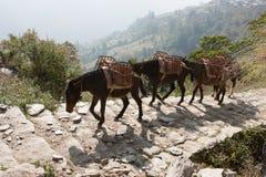 Ослы на треке базового лагеря Annapurna, Непал Стоковые Фотографии RF