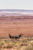 Ослы пася в долине США памятника Стоковые Фото