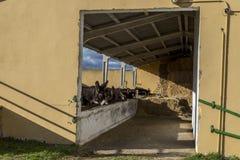 Ослы Zamora стоковое фото rf