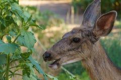 осляк оленей Стоковое Фото