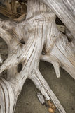 Отбеленный пень driftwood с корнями в песке, северозападными мамами Стоковое фото RF