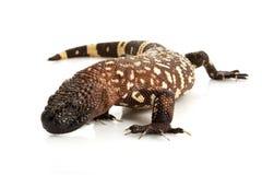 отбортованный мексиканец ящерицы Стоковое фото RF