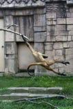 отбрасывать спайдера обезьяны Стоковые Фотографии RF