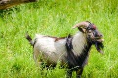 Отбрасывая коза стоя в высокорослой траве Стоковые Изображения RF