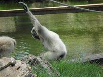 Отбрасывая обезьяна Стоковая Фотография