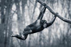 Отбрасывая шимпанзе III Стоковые Изображения RF