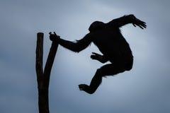 Отбрасывая шимпанзе VII Стоковое Изображение RF