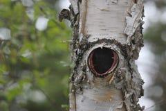 Отверстие в дереве березы стоковые изображения rf