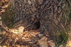 Отверстие в дереве любит дом на дереве в лесе с серией лист Стоковая Фотография