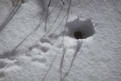 Отверстие мыши в зиме с снегом с трассировками перед входом Стоковые Изображения
