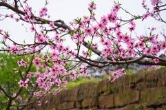 Отверстие цветения персика с гениальным красным цветом Стоковые Изображения RF