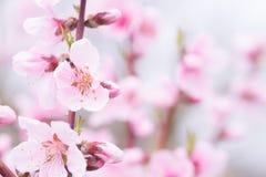 Отверстие цветения персика с гениальным красным цветом Стоковое фото RF