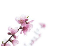 Отверстие цветения персика с гениальным красным цветом Стоковые Изображения