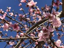 Отверстие цветения персика с гениальным красным цветом Стоковое Фото