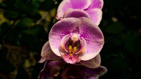 Отверстие цветка орхидеи сток-видео