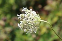 Отверстие wildflower шнурка ` s ферзя Энн белое, увиденное от позади Стоковая Фотография