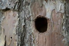 Отверстие Woodpecker в дереве Стоковое Изображение