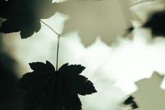 Отголоски лист Стоковые Изображения RF
