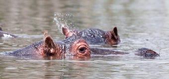 Отделывать поверхность голов бегемота надводный Стоковая Фотография RF