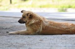 Отдыхать бездомной собаки Стоковое Фото