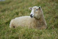 Отдыхать взрослых овец женский на траве Стоковые Фото