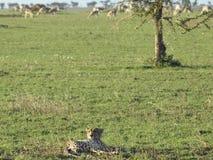 отдыхать гепарда Стоковая Фотография RF