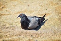 Отдыхать голубя устроился удобно в песке на пляже в Puerto Vallarta, Мексике Стоковые Фото