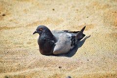 Отдыхать голубя устроился удобно в песке на пляже в Puerto Vallarta, Мексике Стоковые Фотографии RF