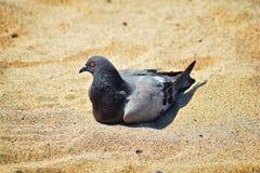 Отдыхать голубя устроился удобно в песке на пляже в Puerto Vallarta, Мексике Стоковое Изображение RF