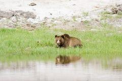 отдыхать гризли медведя Стоковые Изображения