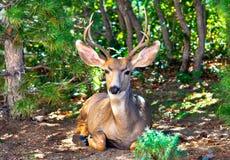 Отдыхать и расслабленный осел buck олени - ясные и красочные - с соснами и дубами стоковая фотография