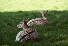 Отдыхать и сигнал тревоги оленей стоковая фотография rf