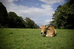 отдыхать коровы Стоковые Изображения
